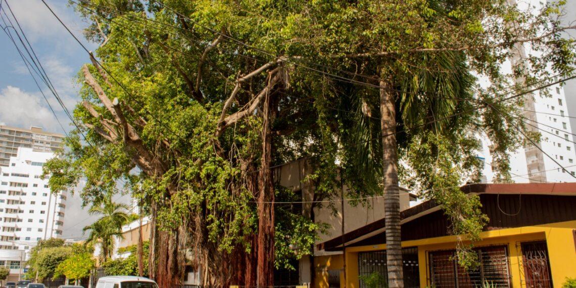 Niegan tala de árbol bicentenario en el barrio Manga de Cartagena
