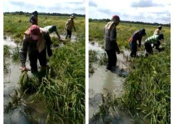 Se ahogó el arroz